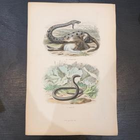 Planche - Gravure ancienne d'Histoire Naturelle (Reptiles et amphibiens)