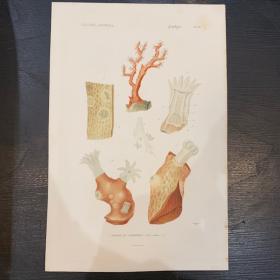 Planche - Gravure ancienne d'Histoire Naturelle - Corail