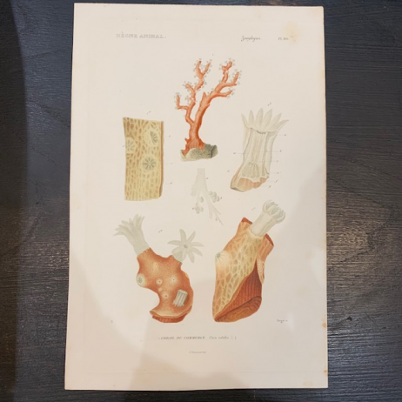 Gravure ancienne d'Histoire Naturelle en couleur