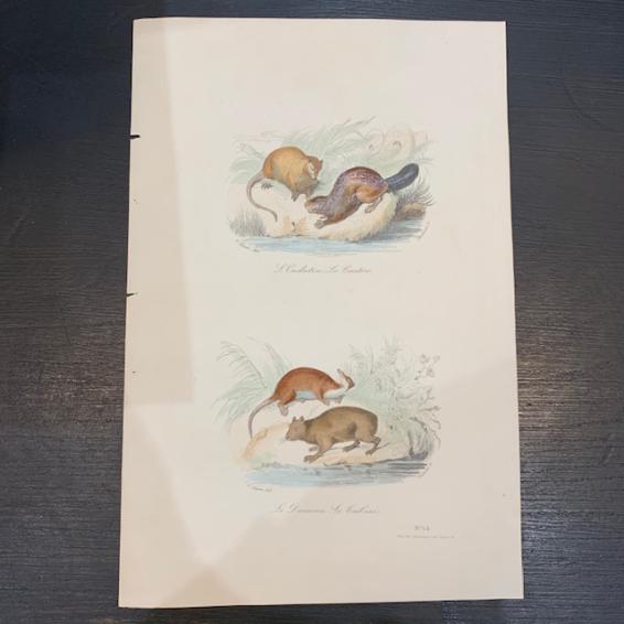 Planche - Gravure ancienne d'Histoire Naturelle (mamifères)