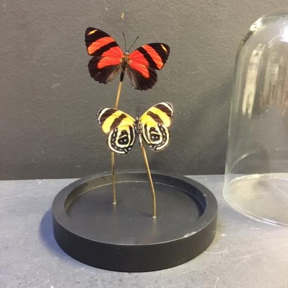 Petite cloche à papillon: Callicore cynosura