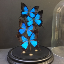 Papilio Ulysses glass bell
