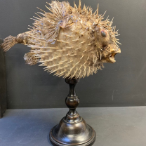 Large Diodon fish on wooden base