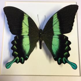 Cadre entomologique - Papilio Blumei