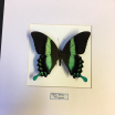 Entomologic transparent Frame - Peacock swallowtail (Papilio Blumei)
