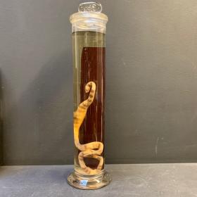 Flûte Muséum: serpent - oxyrhopus trigeminus (Grand spécimen)