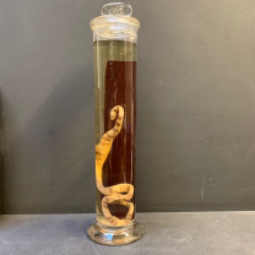 Jar Museum: snake oxyrhopus trigeminus (Large)