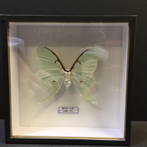 Entomological box - Actias Luna / Luna Moth
