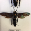 Entomological box wasps: Megascolia Procter (couple)