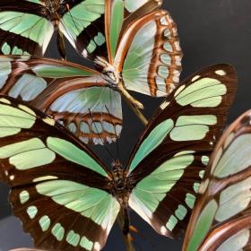 Envolée de papillons: Philaethria dido