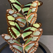 Flight of butterflies: Philaethria dido under glass