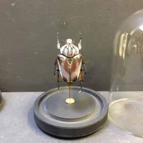 Scarabée sous globe : Goliathus goliatus (femelle)