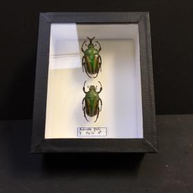 Grande boîte scarabée - boite Eudicella Gralli (vertical)