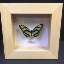 Entomological frame - Philaethria dido