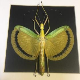 Cadre entomologique: Phasme Tagesoidea nigrofasciata