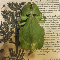 Entomological frame - Leaf phasmid Phyllium celebicum on XVI th century paper