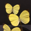 Little butterfly glass dome: Eurema hécabeEurema hécabe