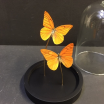 Little butterfly glass dome: Appias nero