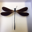 Dragonfly Entomological box: Vestalis Luctuosa