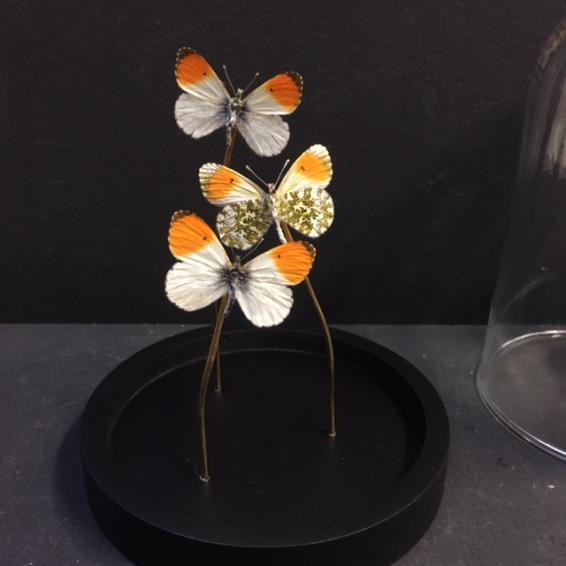 Little butterfly glass dome: Hemaris fuciformis