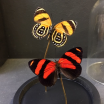 Little butterfly glass dome: Callicore cynosura
