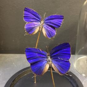 Little butterfly glass dome: Arhopala araxes