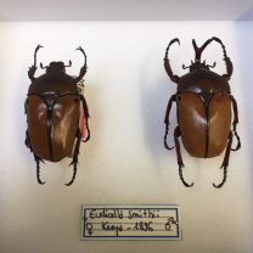 Scarab entomology large box: Eudicella smithii