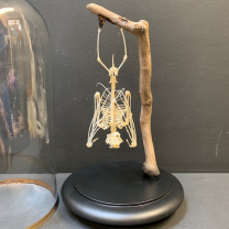 Bat skeletton hanging on his wood branch