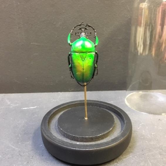 Scarab under glass globe: Dicronorhina Micans