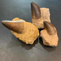 Dinosaur Tooth: Mosasaur - 65 Million Years