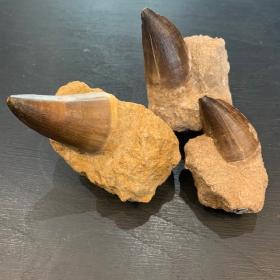 Dinosaur Tooth: Mosasaur - 65 Million Years