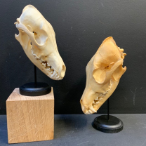 Coyote skull on base -Canis latrans