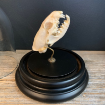 Java Mongoose skull under bell - Herpestes javanicus