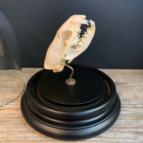 Java Mongoose skull under bell - Herpestes javanicus