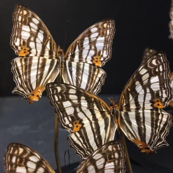 Little butterfly glass dome: Cyrestis maenalis
