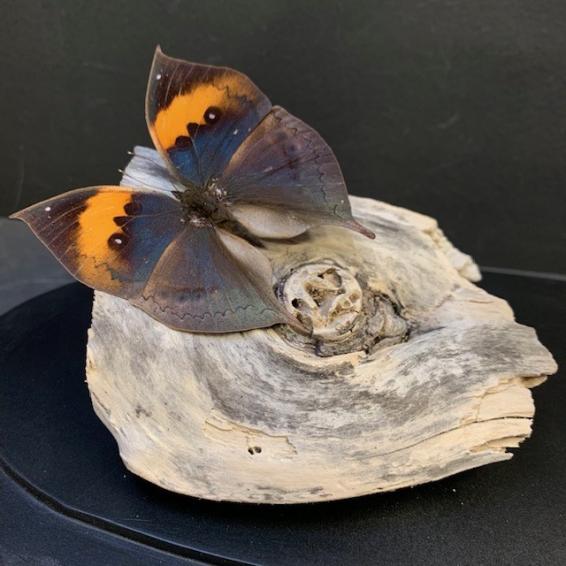 Papillons Feuilles sous cloche ovale - Kallima Inachus