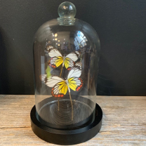 Little butterfly glass dome: Delias hyparete
