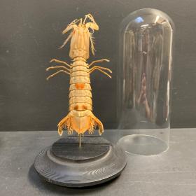 Mantis shrimp ( Squilla mantis) under glass