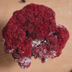 Red Coral: Tubipora Musica