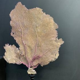 Gorgone jaune - Gorgonia Violacea sur socle GM