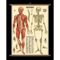 Anatomical chart - Anatomy poster - reprint