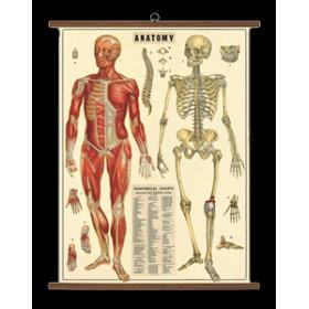 Planche d'Anatomie - planche scolaire VSC/ANA
