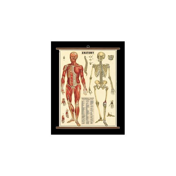 Tableau Scolaire Anatomie