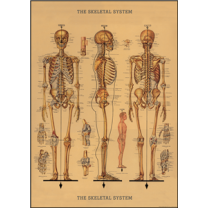 vintage poster: Anatomical skeletton