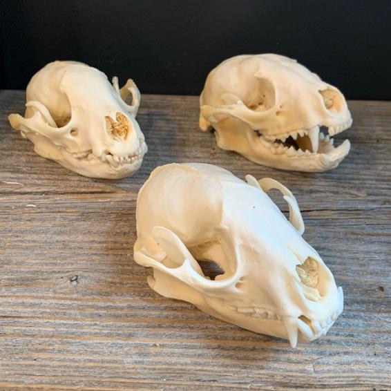 Raccoon skull - Procyon lotor