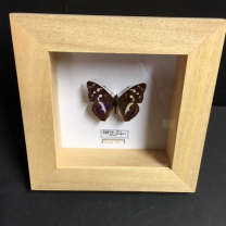 Apaturia Iris: Entomological frame