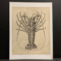 Astacidae Corinae: Steampunk print realized by Steeven Salvat