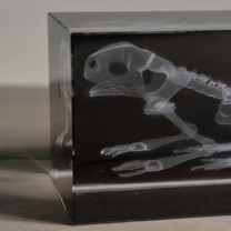 Radiographie 3D Grenouille