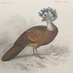 Engraving of Natural History in color Xixth century by d'Orbigny - Birds