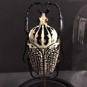 Scarab under a globe : Goliathus Orientalis male